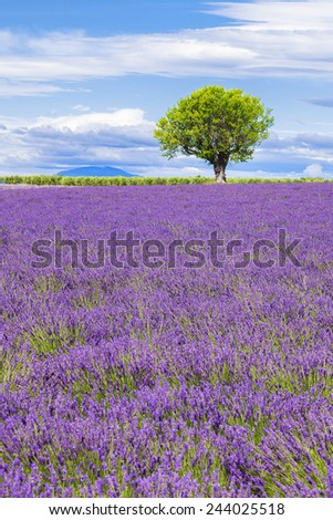 View of Lavender field with tree in Provence, France - stock photo