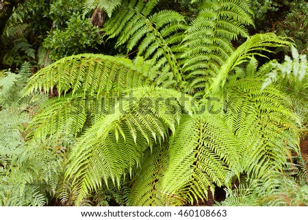 View of mature Tasmanian tree Ferns, known as the Soft Tree Fern, Man Fern or Tasmanian Tree Fern, it is an evergreen tree fern native to parts of Australia