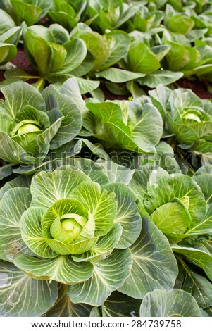 View of nutrient cabbage plantation in the farm - stock photo