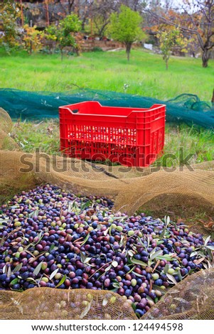 View of Olives harvest in Sicily countryside - stock photo