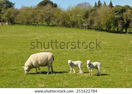 View of Sheep and Lambs in a Green Field - stock photo