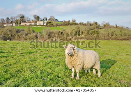 View of Sheep in a Green Farmland Field
