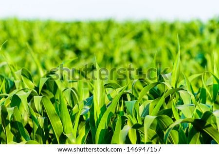 View of still unripe maize plants growing on the field
