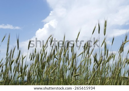 View of summer wheat field in mountain, Plana, Bulgaria