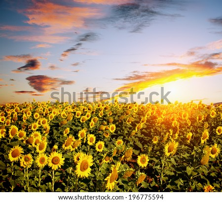 View of sunflowers field - stock photo