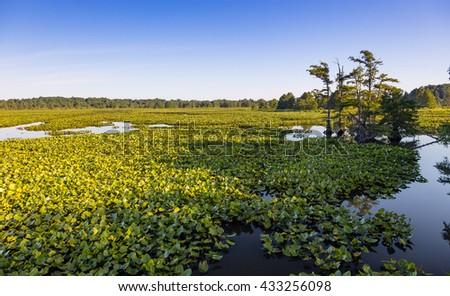 View of swamp at Reelfoot Lake and wildlife refuge - stock photo