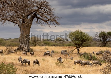 View of Tanzania savanna with a herd of wildebeest and zebra grazing