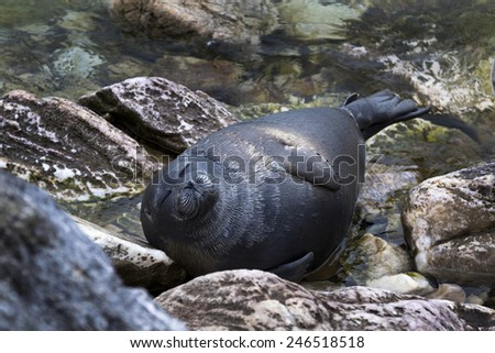 View of the Baikal seal (nerpa) which relaxes on the shore of Baikal lake in Siberia, Russia - stock photo