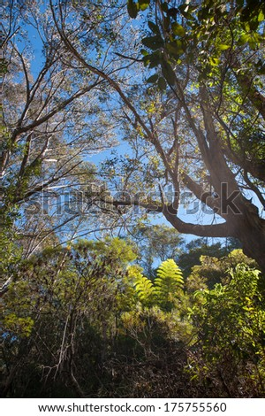 view of the blue sky through the eucalyptus trees  - stock photo