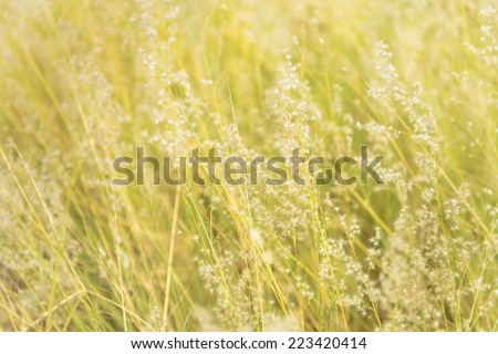 View of the sunset through flowering grass, Field of grass during sunset - stock photo