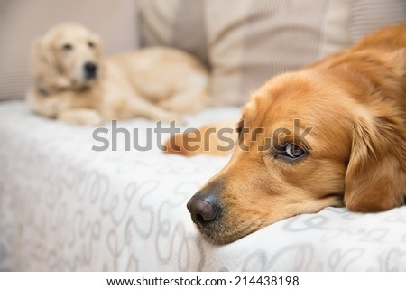 View of two dogs lying - Golden Retriever - stock photo