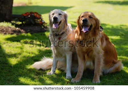 View of two dogs sitting - Golden Retriever - stock photo
