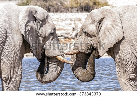 View of two elephants face to face in Etosha national park, Namibia. Etosha is a national park in northwestern Namibia. The park is home to hundreds of species of mammals, birds and reptiles.