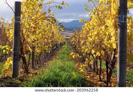 View of Vineyard in Autumn in southern Tasmania - stock photo