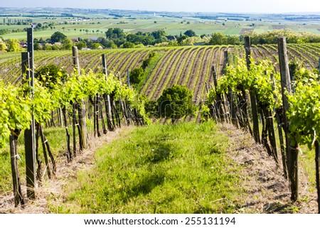 view of vineyard near Unterretzbach, Lower Austria, Austria - stock photo