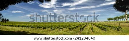 View of vineyard plantation in the Alentejo region, located in Evora, Portugal. - stock photo