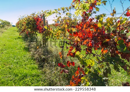 View of vineyard row in autumn, nature background. - stock photo