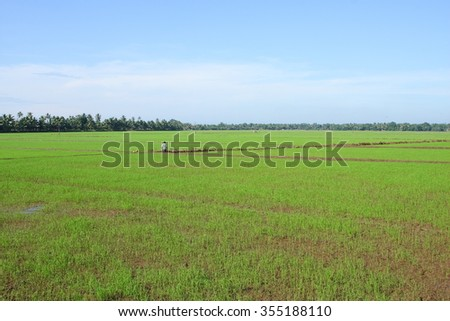 View of young rice plant field.