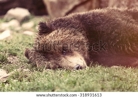 View on european brown bear close up, Ukraine