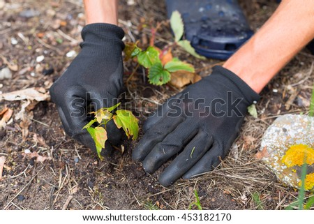 view on gardeners hands in gloves planting new maple sprout with few leaves and steam in soli