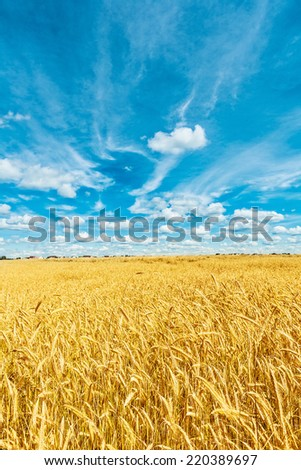 view on ripe wheat field