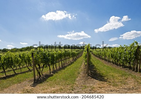 view on rows of vines at vineyard