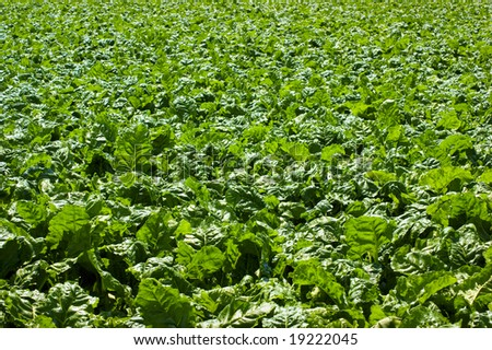 View over a field sugar-beets