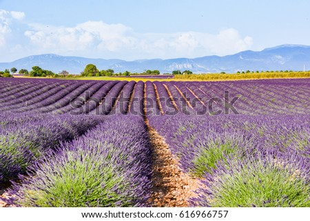 view over fields of wheat farms of Provence during the flowering of the lavenders