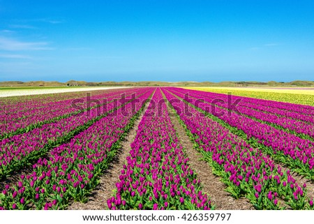 View over fields with purple and yellow tulips on Texel
