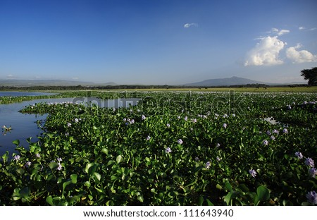 View over the water hyacinth Lake Naivasha Kenya - stock photo