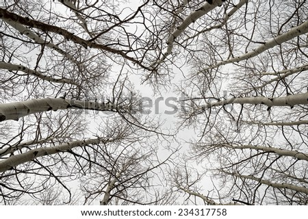 view up into bare aspen branches on a gray overcast day - stock photo