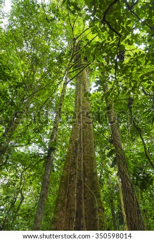 View up into the canopy of Costa Rican rain forest - stock photo