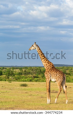 View with a giraffe on the savannah - stock photo