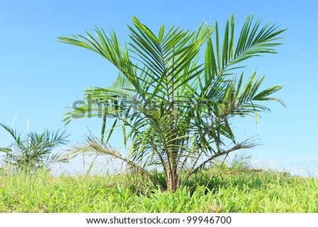 Views of palm oil plantations - stock photo