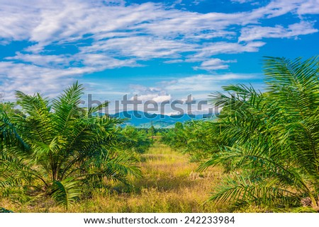 Views of palm oil plantations with blue sky - stock photo