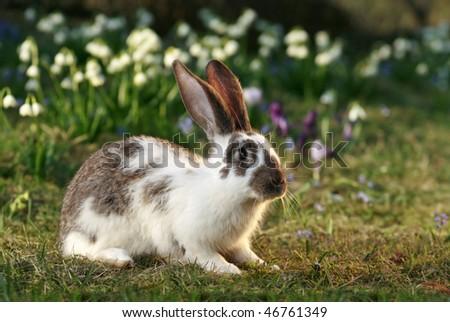 vigilant rabbit on meadow, bunny's free, early spring - stock photo