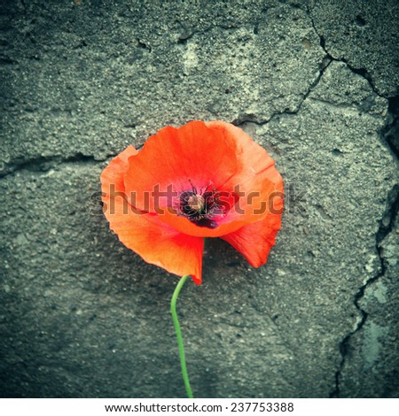 Vignetting Photo of Poppy Flower on the cracked wall background - stock photo