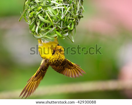 Village (Spotted-backed) Weaver (Ploceus cucullatus) sitting on his nest upside down in South Africa - stock photo
