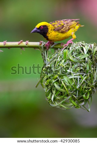 Village (Spotted-backed) Weaver (Ploceus cucullatus) sitting on the branch above his nest in South Africa