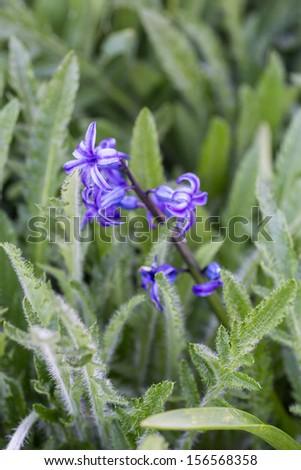 Viloet hyacinth (Hyacinthoides non-scripta) flower on wild grass - stock photo