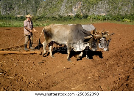 VINALES, CUBA - DECEMBER 12: Farmer smoking a cigar works the soil  with two oxes tied by a yoke ,on december 12, 2014, in Vinales, Cuba  - stock photo