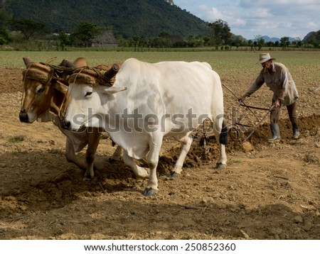 VINALES, CUBA - DECEMBER 11: Ploughing with two oxes tied by a yoke and a  peasant smoking a Cuban cigar ,on december 11, 2014, in Vinales, Cuba  - stock photo