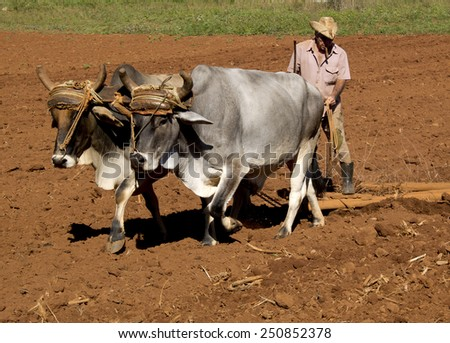 VINALES, CUBA - DECEMBER 12: this peasant smoking a cigar is working in his field with two oxes tied by a yoke ,on december 12, 2014, in Vinales, Cuba  - stock photo