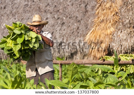VINALES, CUBA - MARCH 22 2012: Cuban farmer shows the harvest of tobacco field on 22nd of March 2012 in Vinales, Cuba. - stock photo