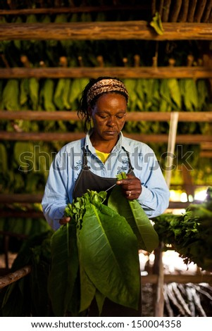 VINALES, CUBA - MARCH 04: Unidentified tobacco farmer prepares leaves to dry in Vinales, on March 04, 2011. Cuba has the second largest area planted with tobacco in the world..   - stock photo