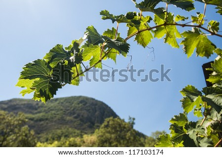 vine against a blue sky with white clouds