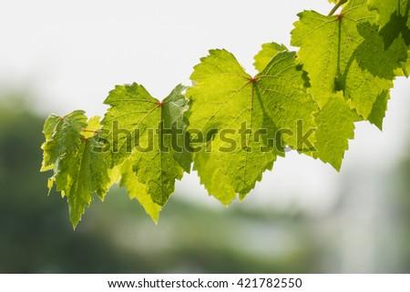 Vine branch sunlight on blurred background - stock photo