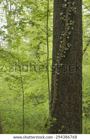Vine climbing up a tree in a thick forest - stock photo