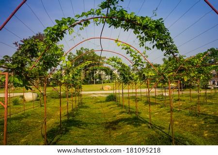 Vine covered pergola in garden - stock photo