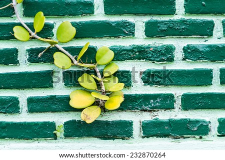 Vine growing on a green wall  - stock photo